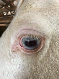Squamous Cell Carcinoma Skin Cancer In Horses Thegaitedfanatic